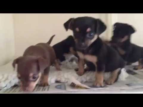 Miniature Chihuahua X Jack Russell Puppies