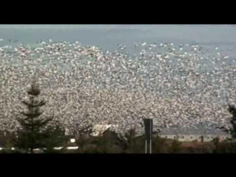 Chasser l'oie blanche et l'outarde dans la région de Montmagny