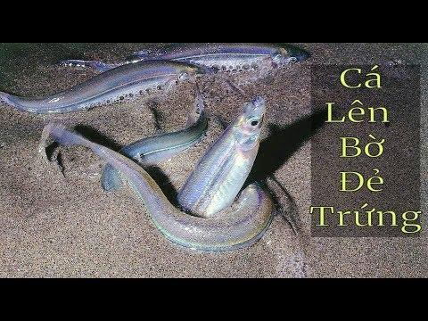 Sự Kỳ Diệu Của Tạo Hoá Khi Loài Cá Bỏ Nước Lên Đất Liền Đào Hố Đẻ Trứng - Thời lượng: 10:47.