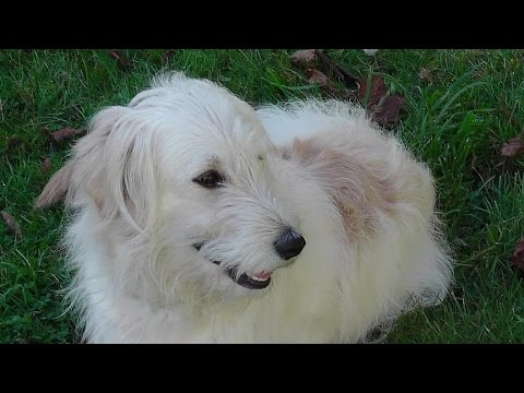 Sweet, funny animal videos for children. Golden Retriever Poodle mix Ally. no35 2014 REP1