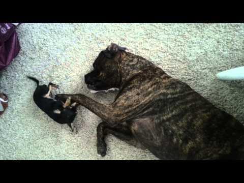 Boxer vs Chihuahua
