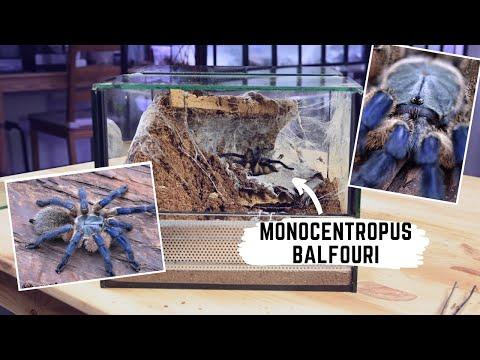 Monocentropus balfouri - dlaczego nie odbieramy kokonu? | arent.pl