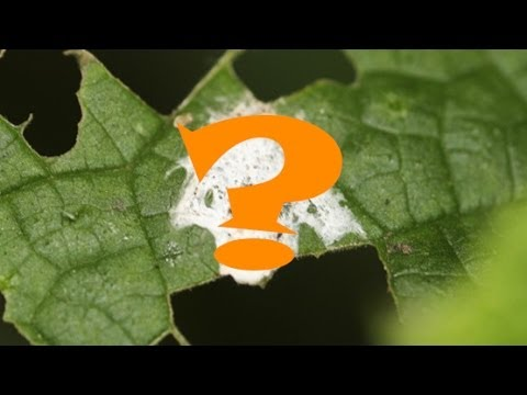 camouflaged - Animal Mimicry. Can you tell what type of animal this is? Well the animal question is disguising itself as bird poop. The orb-web spider Cyclosa ginnaga trie...