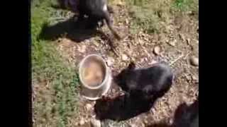 Gunns Plains Australia  City pictures : Those Magnifiicent Tassie Devils