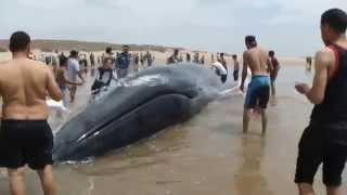 Download Lagu baleine sidi rbat plage 2012 Mp3