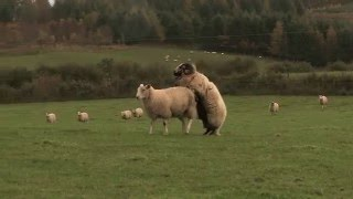 Outtakes From Lambing Live Series 3 2014