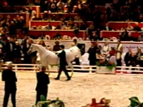 World Arabian Champion Finalists 2008 Senior Stallions.AVI