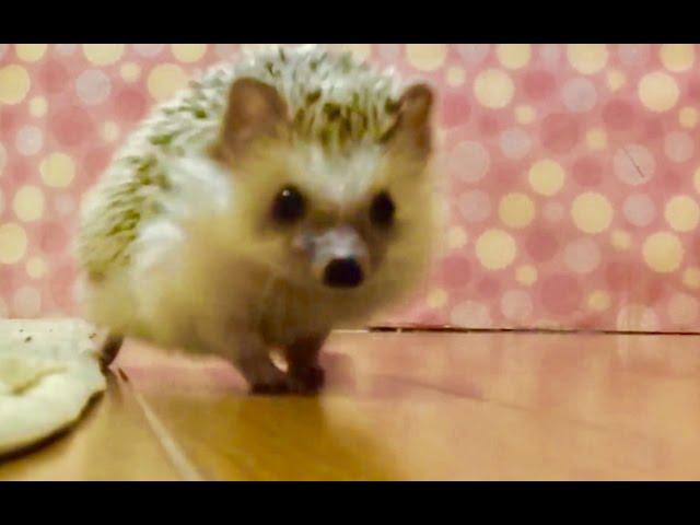 【逃げ恥】つゆさんのダッシュの魅力を伝えたい。 Hedgehogs like Sonic