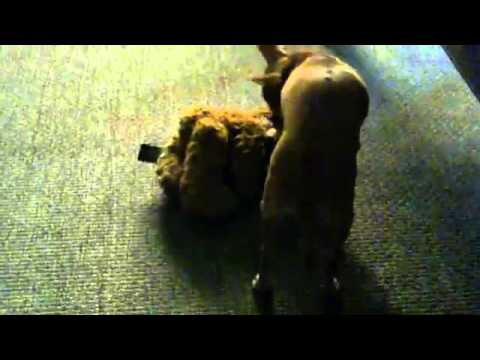 Funny Chihuahua Dog Humps A Teddy Bear!!!!!!!