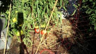OK, basically from late June and the entire month of July, it is Harvest time for my tomatos!! so a good length of this video shows about the fruits of Cherokee Purple, Black Krim, and  Black Prince.