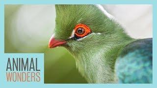 Turacos! Little Known Wonders by Animal Wonders