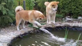 Akita Japan  City new picture : Japanese Akita Inu play with the mysterious water jet