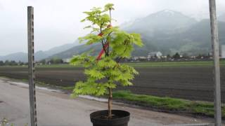 #681 Japanischer Goldahorn - Acer shirasawanum Aureum