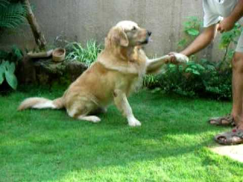 golden retreiver - Eldo - Our golden retriever is a very cute dog . He knows lots of tricks and he can do counting and addition too.