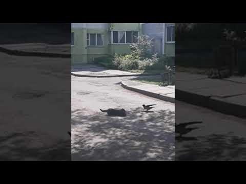 Ένα κοράκι τρολάρει δύο γάτες που τσακώνονται