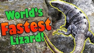 Meet the Black Spiny Tailed Iguana! by Snake Discovery