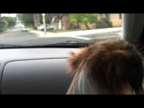 Jack Russell Terrier/ Chihuahua barking at windshield wiper