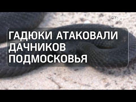 Гадюки нападают на подмосковных дачников - DomaVideo.Ru
