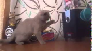 Cat trying to catch the bass