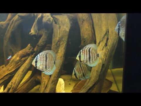 Wild Heckel blue face  Discus update