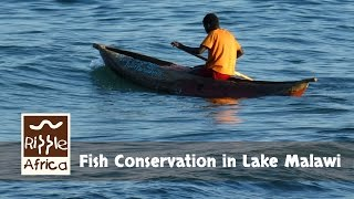 http://www.rippleafrica.org/ Lake Malawi has been over fished for many years. RIPPLE Africa is now working with Communities on...
