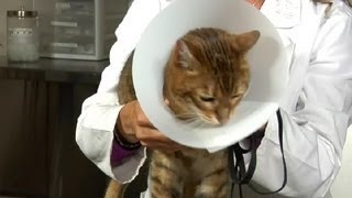 Feline Neutering&Post-Surgery Instructions : Cat Health Care&Behavior