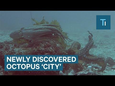 Ερευνητές ανακάλυψαν αποικία χταποδιών στον βυθό της Αυστραλίας
