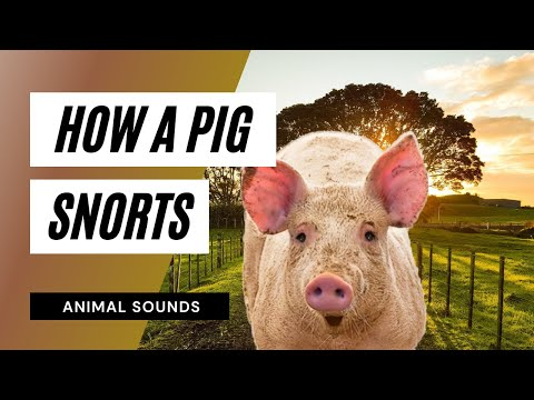 The Animal Sounds: Pig Snorts / Sound Effect / Animation