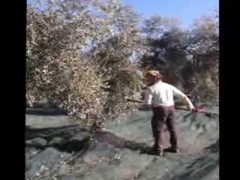 2011 raccolta olive in un appezzamento di pendolini frantoi e leccini