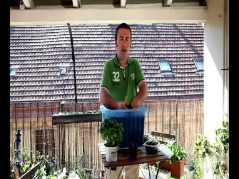 Asociación de cultivos: Tomate y Albahaca//Balcón comestible//LlevamealhuertoTv