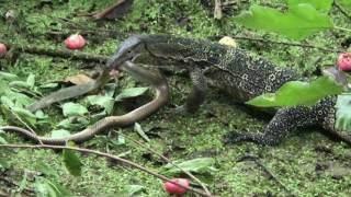 Video Water Monitor vs Snake MP3, 3GP, MP4, WEBM, AVI, FLV Agustus 2019