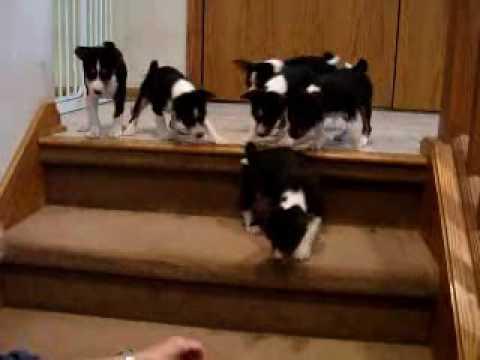 Basenji Puppy stairs101