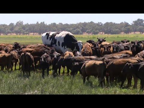 Valtavan kokoinen härkä!