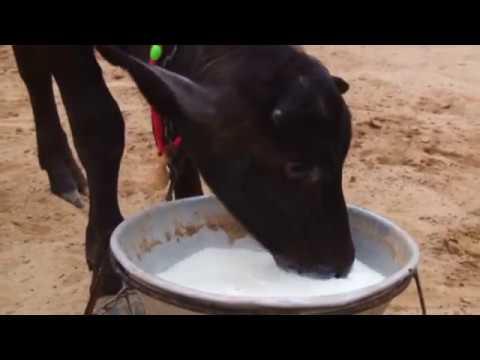 buffalo farm in punjab