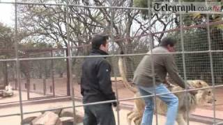 Journalist Plays With Lion And Barely Escapes With His Life