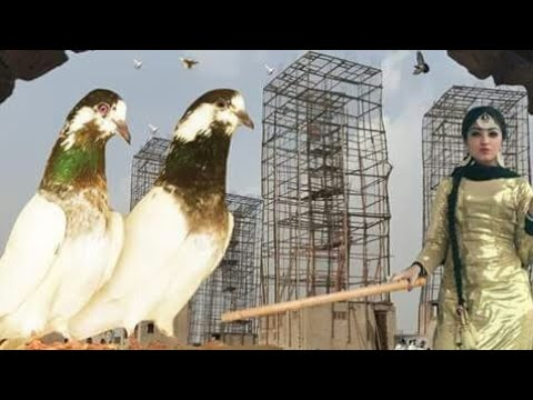Charay Mar Pigeons In Lahore
