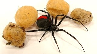 Video 4 Deadly Spider Egg Sacs Whats Inside Is Amazing MP3, 3GP, MP4, WEBM, AVI, FLV Januari 2019