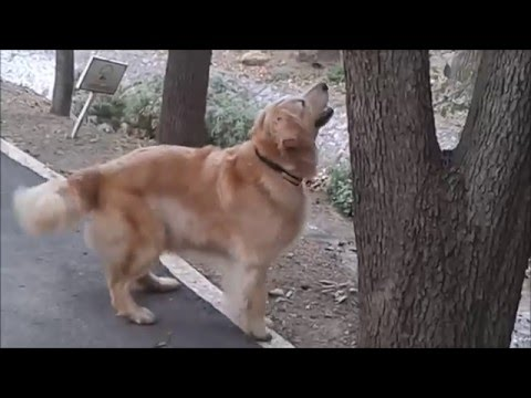 compilation divertentissima di scene buffe di golden retriever