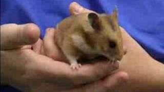 Syrian or Golden Hamster Care : Syrian or Golden Hamster Life Span&Health