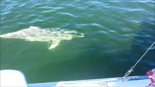Tin Can Bay Australia  City pictures : White Dolphin at Tin Can Bay QLD Australia