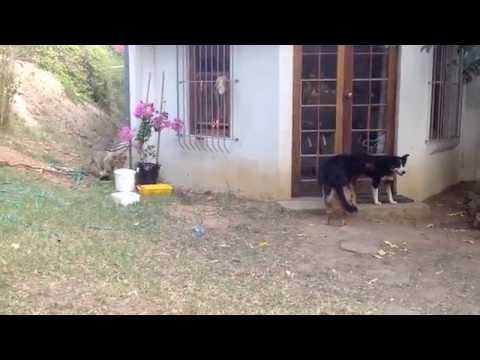 Fright - Lion cub sneaks up to unsuspecting dog and gives him a big fright. Filmed at Cornellskop Animal Training Farm, Bot River, Western Cape, South Africa. UPDATE:...
