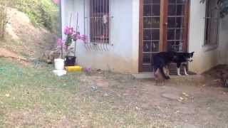 Sneaking Lion Cub Gives Dog Fright - YouTube
