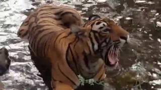 Ranthambore India  city photos : Tiger Close Encounter - Pacman, Ranthambore, India