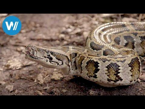 Florida - Invasion der Pythons (360° - GEO Reportage)