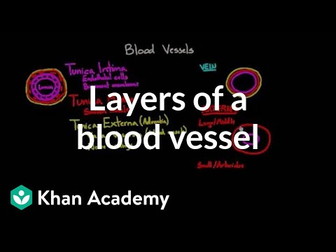 Layers Of A Blood Vessel Video Khan Academy