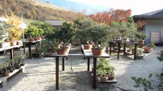 Auer Italy  City new picture : Bonsai Auer Italy 13.11.2009
