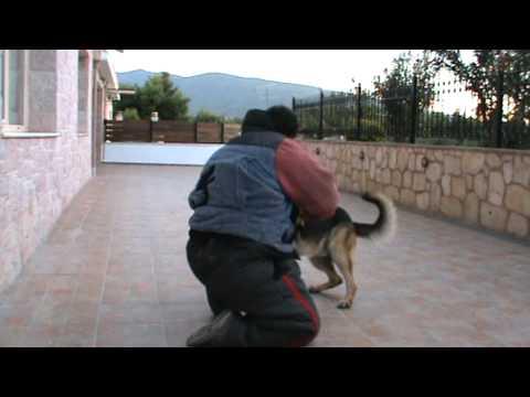 εκπαιδευση σκυλου σε σωματοφυλακη k9elite.MPG