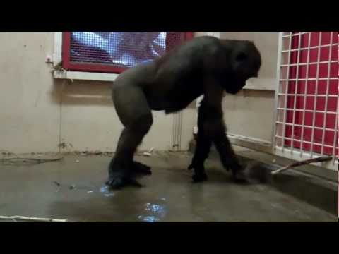 Break Dancing Gorilla At The Calgary Zoo