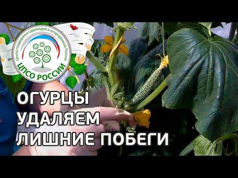 Формирование огурца в период плодоношения. Выращивание огурцов в теплице.