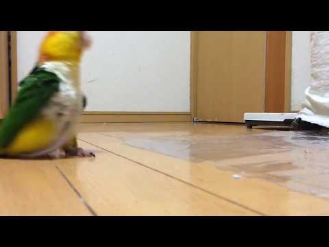 Lintu tykkää marssia – Hauska veijari